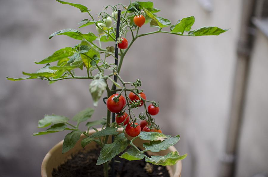 Les jolies choses 7whatever works - Quand planter les tomates cerises ...